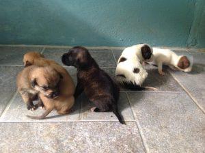 Dominica Puppies
